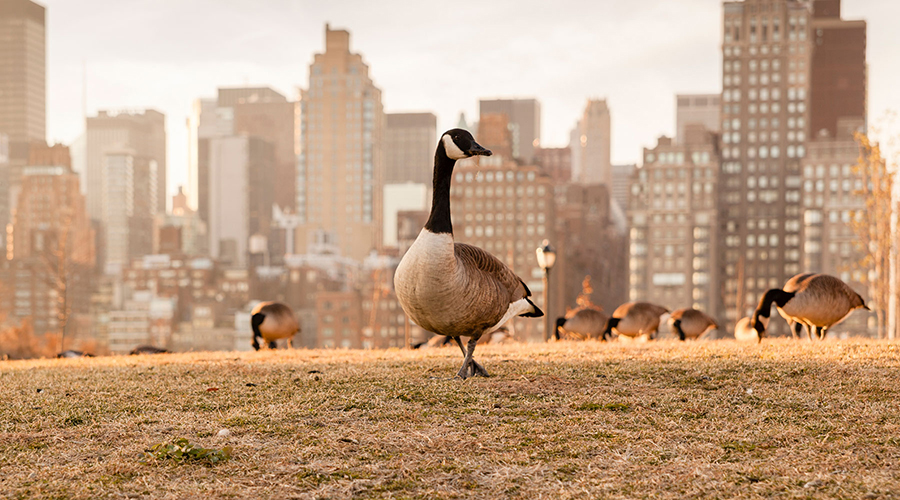 geese in the city